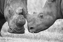 Primo piano di una testa bianca di rinoceronte con pelle corrugata dura Immagini Stock