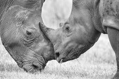 Primo piano di una testa bianca di rinoceronte con pelle corrugata dura Immagine Stock Libera da Diritti