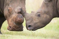 Primo piano di una testa bianca di rinoceronte con pelle corrugata dura Fotografie Stock Libere da Diritti