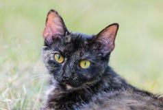 Primo piano di una testa del gatto domestico Catus di silvestris del Felis fotografia stock