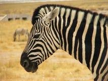 Primo piano di una testa della zebra Immagine Stock