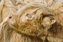 Primo piano di una testa scozzese del vitello dell'altopiano Immagini Stock