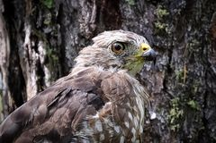 Primo piano di una testa vasto-alata del falco contro un fondo della corteccia fotografia stock