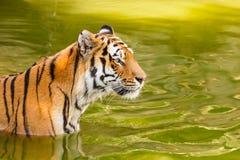 Primo piano di una tigre siberiana Fotografia Stock Libera da Diritti