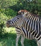 Primo piano di una zebra Fotografia Stock Libera da Diritti
