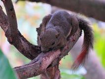 Primo piano di uno scoiattolo del plantano su un ramo Immagine Stock