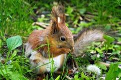 Primo piano di uno scoiattolo marrone-rosso che mangia nocciola durante la seduta sulla terra verde Fotografia Stock