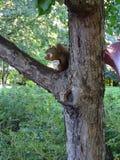Primo piano di uno scoiattolo in un albero che mangia nocciola Fotografie Stock Libere da Diritti