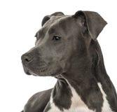 Primo piano di uno Staffordshire Terrier americano Fotografia Stock Libera da Diritti