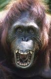 Primo piano di urlo dell'orangutan Fotografia Stock