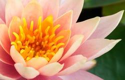 Primo piano di vecchio fiore di loto rosa beautyful Immagine Stock