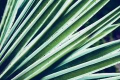 Primo piano di vera dell'aloe del cactus Priorità bassa floreale naturale Il concetto della geometria naturale Fotografie Stock Libere da Diritti