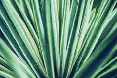 Primo piano di vera dell'aloe del cactus Priorità bassa floreale naturale Il concetto della geometria naturale Fotografie Stock