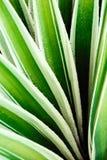 Primo piano di vera dell'aloe del cactus Sfondo naturale naturale Il concetto della geometria naturale Immagini Stock