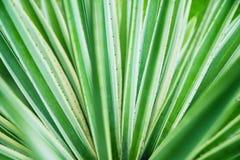 Primo piano di vera dell'aloe del cactus Sfondo naturale naturale Il concetto della geometria naturale Fotografia Stock