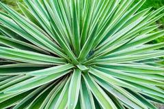 Primo piano di vera dell'aloe del cactus Sfondo naturale naturale Il concetto della geometria naturale Immagine Stock