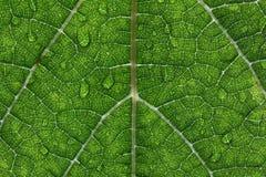 Primo piano di Waterdrops su una foglia dell'uva Fotografia Stock Libera da Diritti