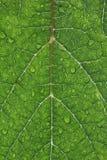 Primo piano di Waterdrops su una foglia dell'uva Immagini Stock