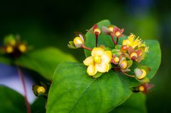 primo piano Dolce-ambrato o tutsan del fiore, androsaemum di iperico, medicina di erbe immagini stock libere da diritti