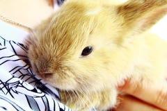 Primo piano domestico del coniglio sulle mani dell'assistente di volo immagini stock libere da diritti