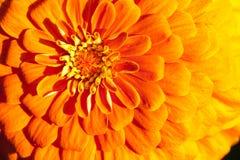 Primo piano dorato del crisantemo Fotografia Stock Libera da Diritti