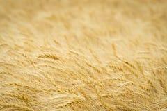 Primo piano dorato del frumento Fotografia Stock Libera da Diritti