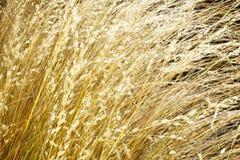 Primo piano dorato dell'erba Immagini Stock Libere da Diritti
