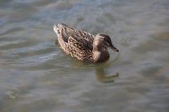 Primo piano ducky di immagine di fotografia della fauna selvatica della natura fotografie stock