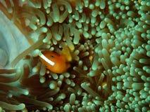 Primo piano e macro colpo del perideraion del Amphiprion, dei clownfish rosa della moffetta o dei anemonefish rosa in Tunku Abdul fotografie stock