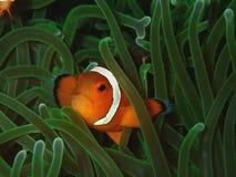 Primo piano e macro colpo del pesce occidentale del pagliaccio o del pesce di anemone La bellezza del mondo subacqueo, Sabah born fotografia stock libera da diritti