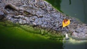 Primo piano estremo dell'alligatore nello sguardo dell'acqua Immagine Stock Libera da Diritti