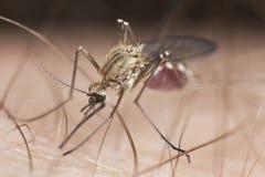 Primo piano estremo della zanzara Immagine Stock