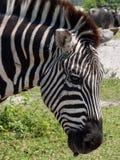 Primo piano estremo della zebra di Grant nel profilo Immagine Stock Libera da Diritti
