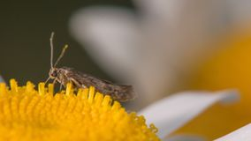 Primo piano estremo di che cosa sembra essere specie di un lepidottero che si alimentano un wildflower bianco e di giallo vicino  immagini stock libere da diritti