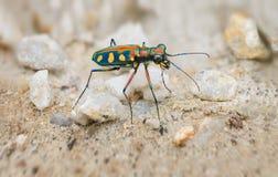 Primo piano estremo di Tiger Beetle brillantemente colorato nel selvaggio Immagini Stock