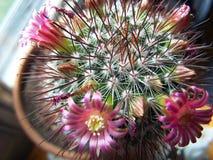 Primo piano estremo di un cactus rosa di fioritura Immagine Stock Libera da Diritti