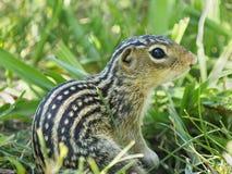 Primo piano estremo di uno di uno scoiattolo a terra foderato di tredici nell'erba Immagine Stock Libera da Diritti
