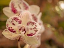 Primo piano fantastico di un'orchidea porpora gialla immagini stock