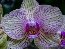 Primo piano fantastico di un'orchidea rosa gialla immagini stock