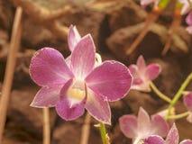 Primo piano fantastico di un'orchidea rossa immagine stock libera da diritti