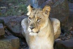 Primo piano femminile del leone Immagine Stock Libera da Diritti