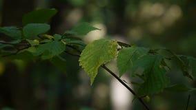 Primo piano foglio verde Le foglie tremano leggermente in vento sul ramo di albero nero sottile contro prato inglese verde vago archivi video