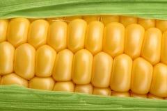 Primo piano fresco del mais del cereale Immagine Stock