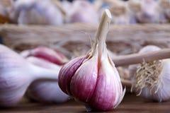 Primo piano fresco dell'aglio del raccolto Fotografia Stock