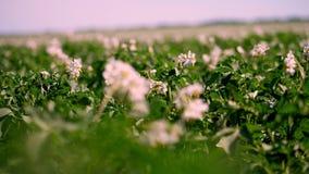 Primo piano, fuoco unsharp, patate di fioritura pallido - i fiori rosa fioriscono sui cespugli della patata su un campo dell'azie stock footage