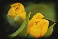 Primo piano giallo dei tulipani dei fiori Cocept del giorno del ` s delle donne, giorno del ` s della madre, giorno del ` s del b Fotografia Stock