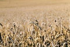 Primo piano giallo del campo dell'azienda agricola, piccola profondità di campo Stagione di estate Immagini Stock Libere da Diritti
