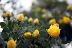 Primo piano giallo del cespuglio del roseto fotografia stock libera da diritti