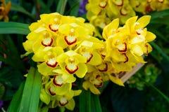 Primo piano giallo del Cymbidium dell'orchidea Allevamento delle orchidee in giardino Fotografia Stock Libera da Diritti