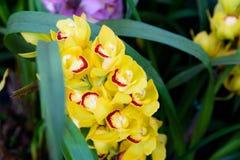 Primo piano giallo del Cymbidium dell'orchidea Allevamento delle orchidee in giardino Immagini Stock Libere da Diritti